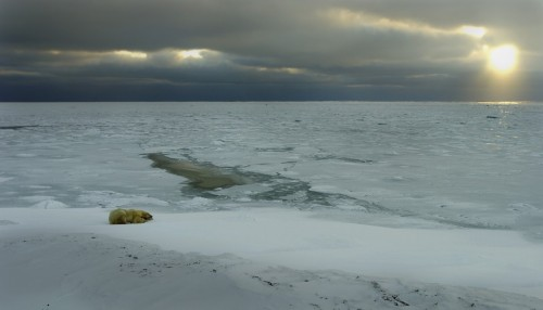 Polar Bear waiting for the sea to freeze in Hudson Bay to enable it to go and hunt for seal.