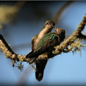 Hummingbirds © Durrell Wildlife Conservation Trust