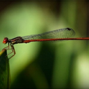 Apothecary Gallery London Durrell Damsel Fly