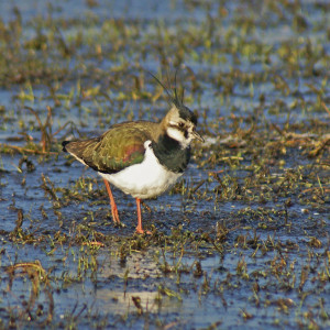Lapwing © Steve Duffield