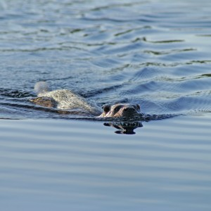 Swimming Otter © Steve Duffield