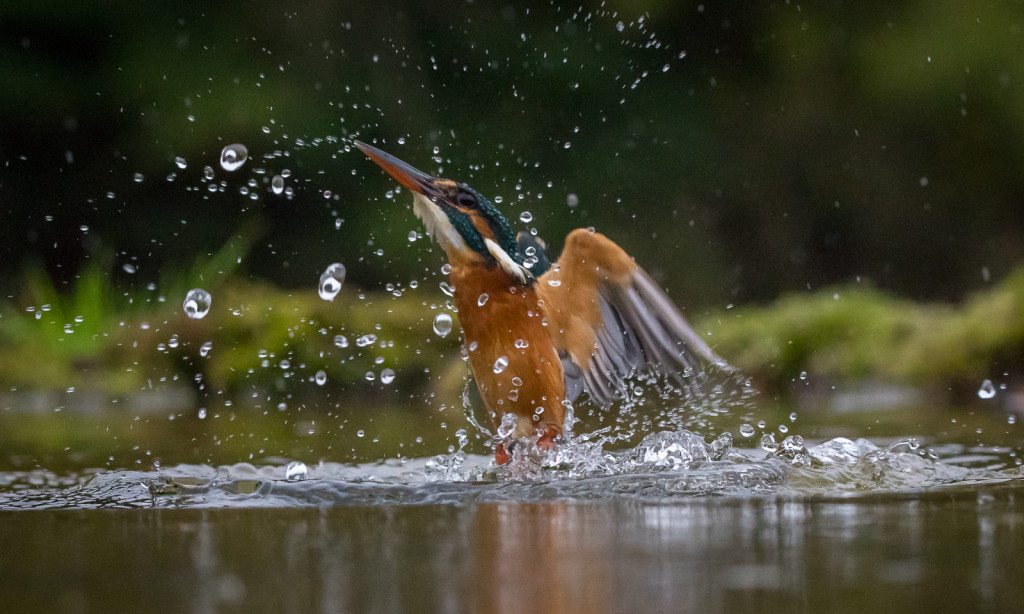 Kingfisher_3_cropped