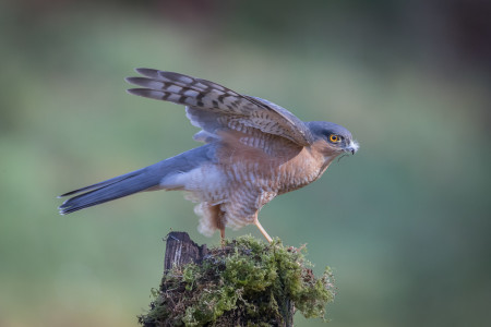 Male sparrowhawk_Lynn Stout