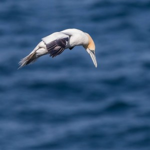 gannet in flight 12